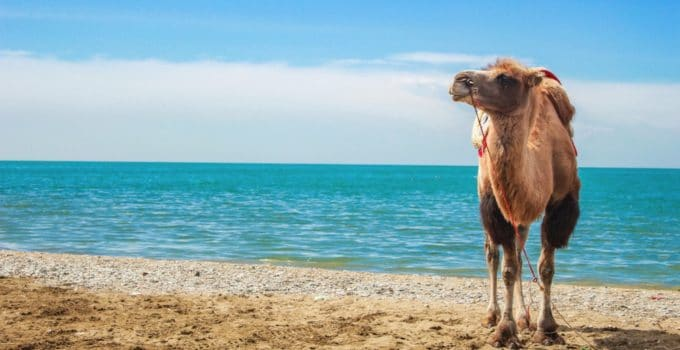 What Do Camels Eat?