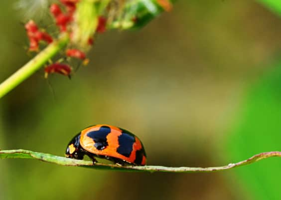 What Do Ladybugs Eat?