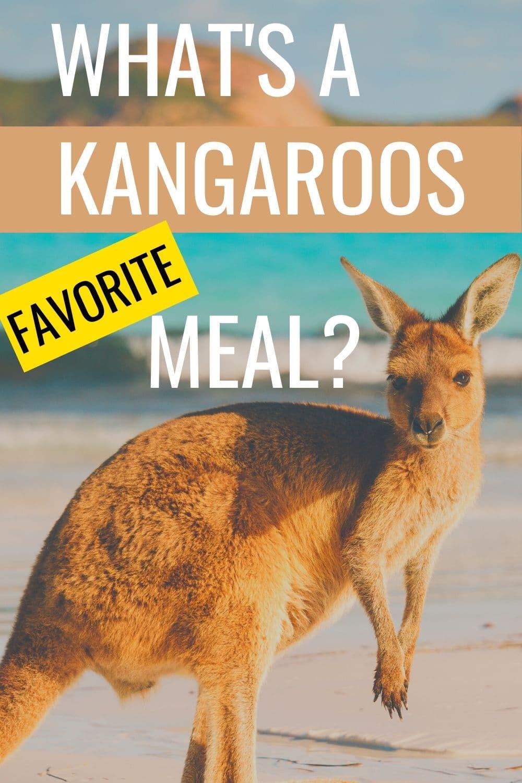 What Do Kangaroos Snack On