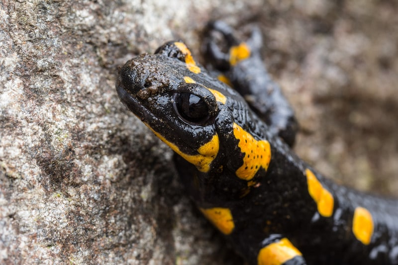 The Salamander's Diet: This is What They Really Eat!
