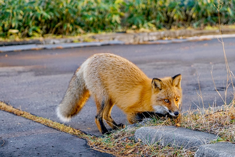 Here's What Foxes Really Eat