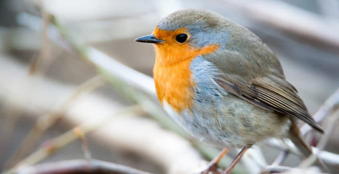 What do Robins Eat?