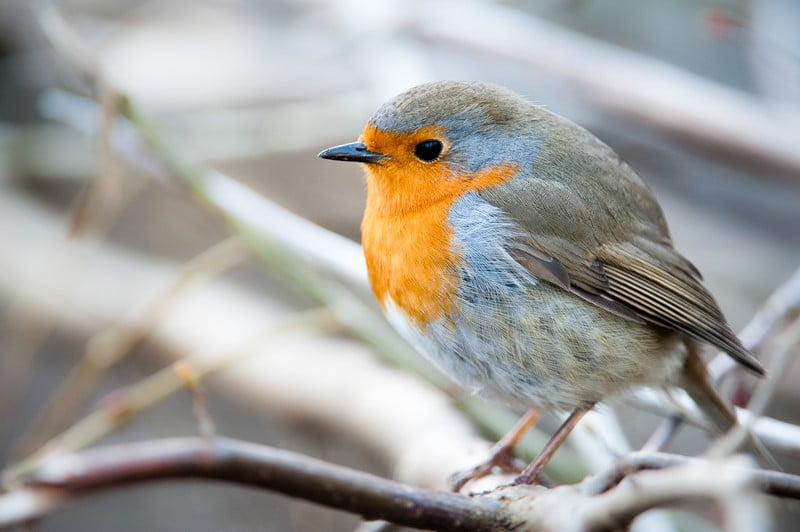 The Robin's Diet: Here's What These Birds Really Eat