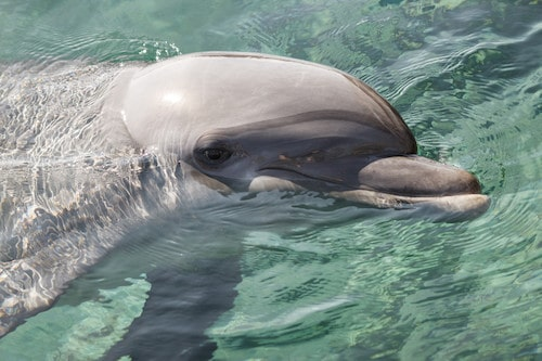 Bottlenose Dolphin in the Red Sea