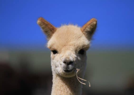 What Do Alpacas Eat?