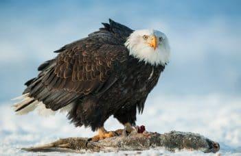 An Eagle eating Salmon