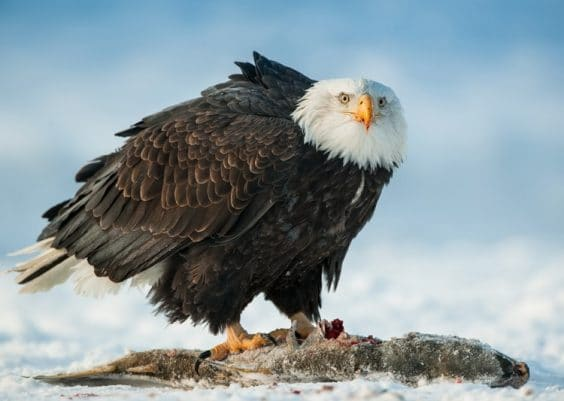 An Eagle eating Salmon