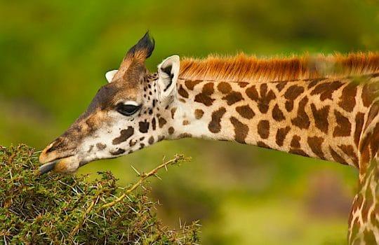 What Do Giraffes Eat?