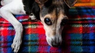 Brazilian Terrier Care