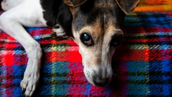 Brazilian Terrier Dog Breed Info, Care and Characteristics