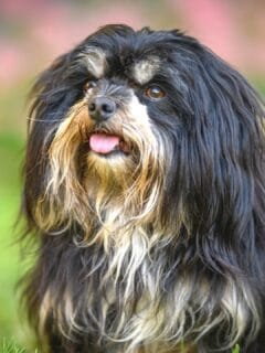Portuguese Sheepdog Care