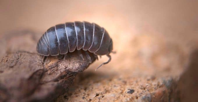 Roly Poly Isopod Care Guide