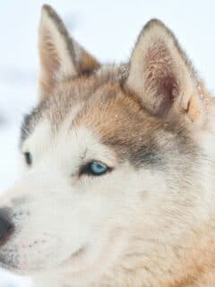 White Siberian Husky Dog Care