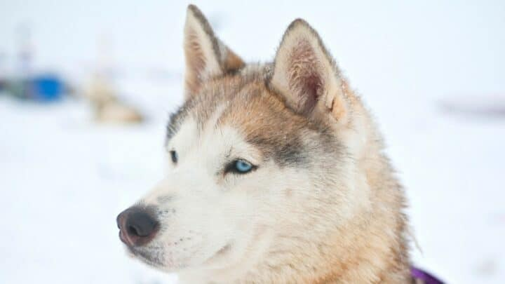 White Siberian Husky Dog Breed Info & Care in a Nutshell