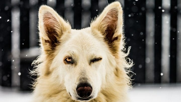 Why Dogs Wink: 3 Possible Reasons