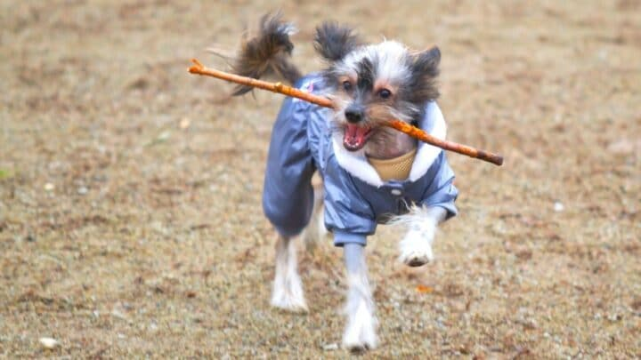 Why Do Dogs Like Sticks: 5 Good Reasons