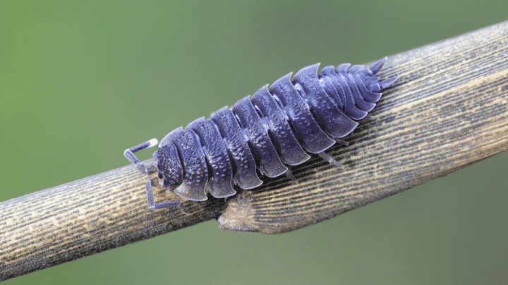 Can Isopods Be Pets – Read All About It Here