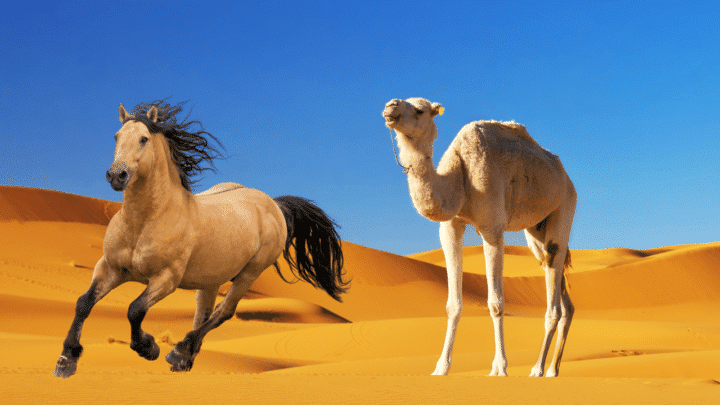 How Fast Camels Are Compared to Horses