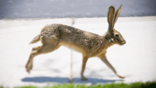 How Fast Can a Rabbit Run