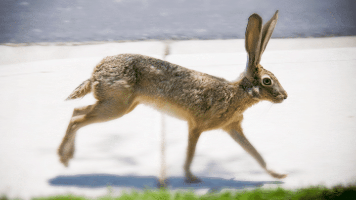 How Fast Can a Rabbit Run? What do You Think?