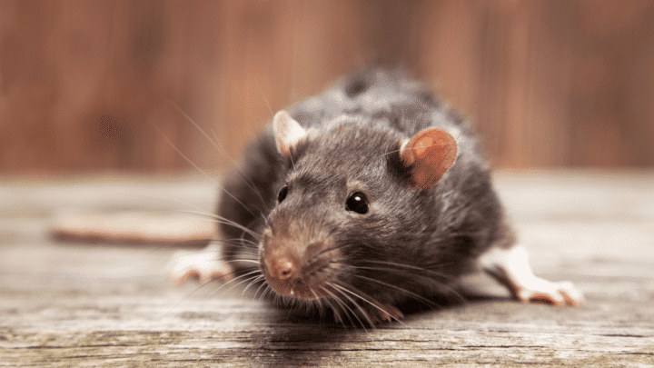 How Long Mice Live Without Food