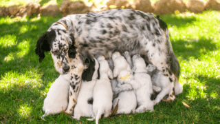 How long can a mother dog be away from her puppies