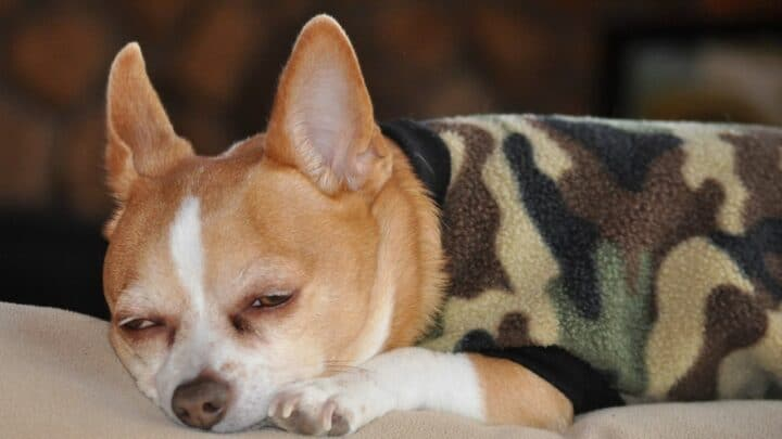 10 Good Reasons Why Your Dog Might Snore