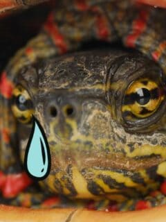 Can Turtles Cry