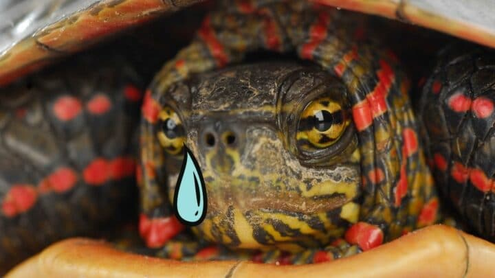 Can Turtles Cry? — Let's Find Out!
