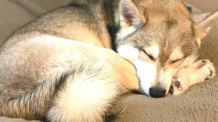 14 Dog Breeds That Look Like Huskies — Nr. 11 Is Just WOW!