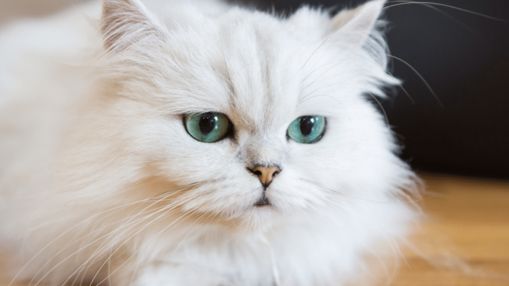 How Much Does a Persian Cat Cost? That's Crazy!