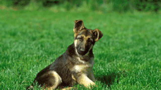 How Much is a Baby German Shepherd