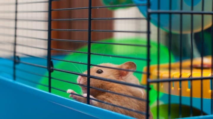 How to Clean a Hamster Cage? — Here You Go!