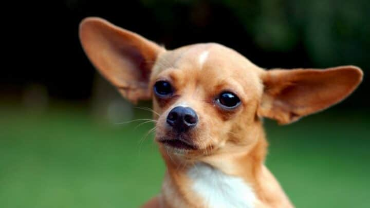 How to Stop A Chihuahua from Barking ― Best Tips!