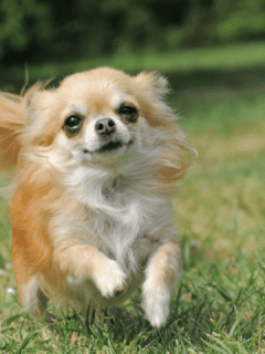 What is the Lifespan of a Long Hair Chihuahua