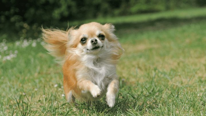 What is the Lifespan of a Long Hair Chihuahua? The Answer!