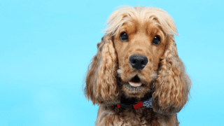What is the best dog food for Cocker Spaniels