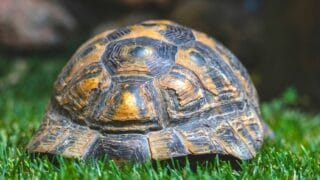Why Do Turtles Have Shells