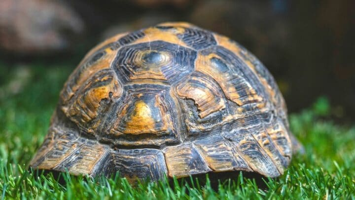 Why Do Turtles Have Shells? – The Answer Might Surprise You!