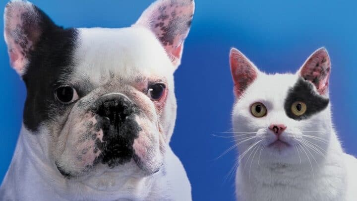 Are French Bulldogs Good with Cats? — The Answer!