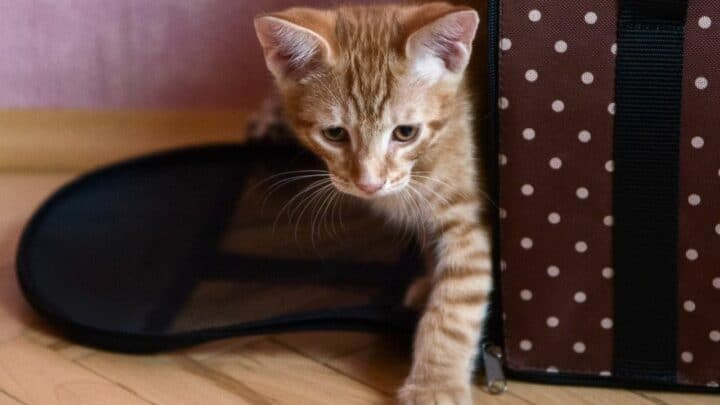 How To Get An Aggressive Cat Into The Carrier — With Ease!