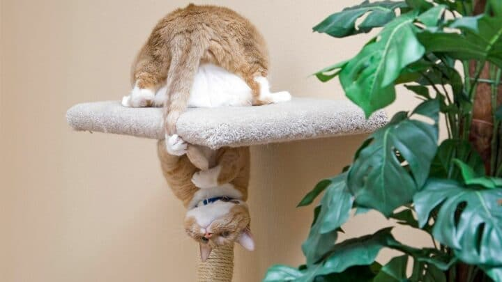 Why Do Cats Chase their Tails – So many Reasons!
