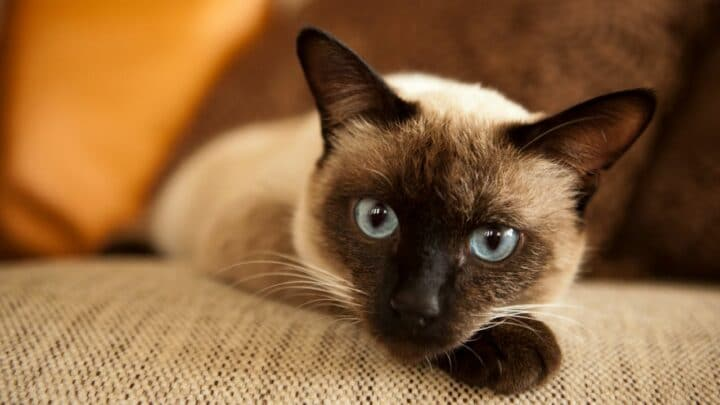 How Much Do Siamese Cats Cost – What You Need To Know