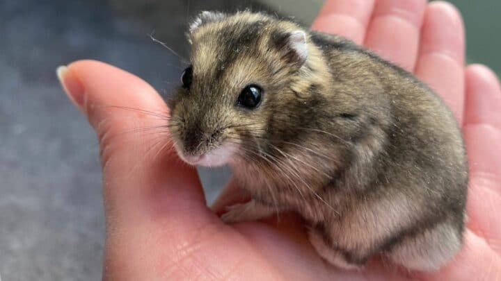 How to Tell Your Hamster Likes You — 7 Signs of Affection!