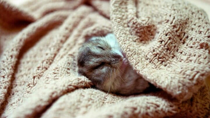 8 Proven Ways to Keep Your Hamster Warm