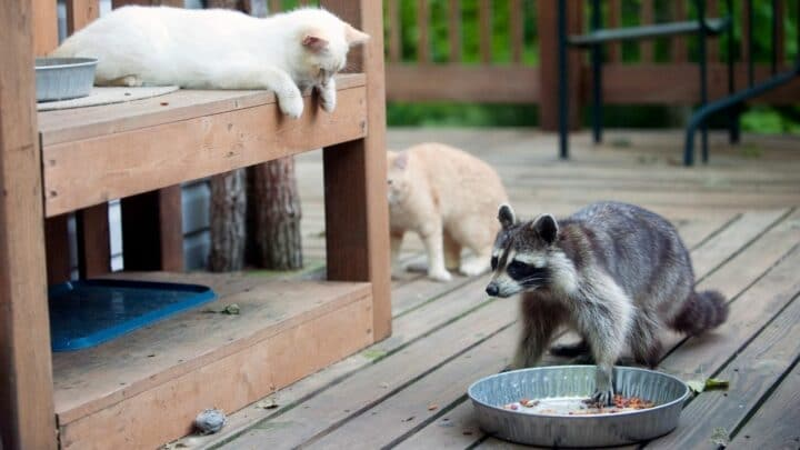 How to Keep Raccoons Out of Cat Food — It Works!