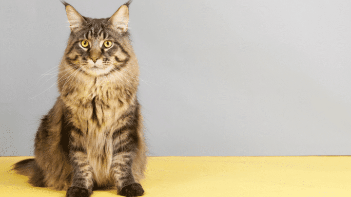 Maine Coon Mix Characteristics – These Are the Differences!