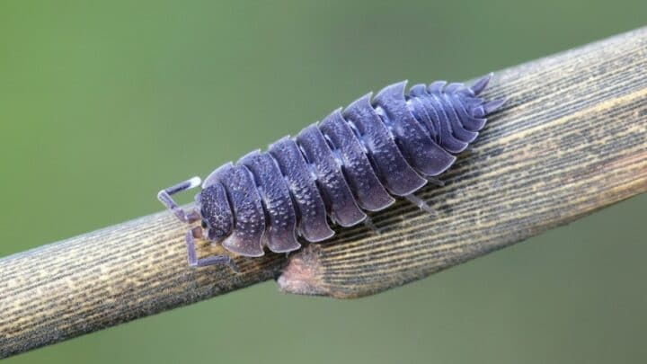 Can Isopods Climb?
