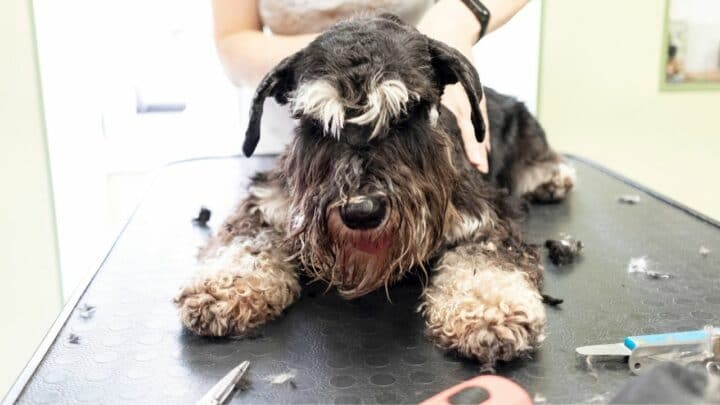 How To Groom a Standard Schnauzer? Tips and Tricks