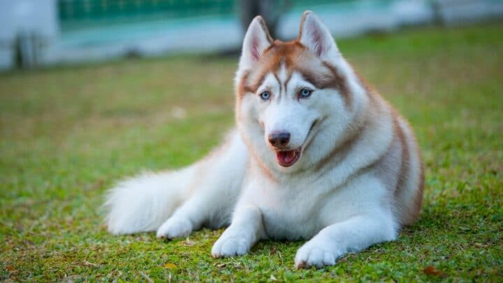 Why Are Huskies Stubborn? Find Out Here!